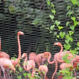 Amazon river ride 9 Flamingoes