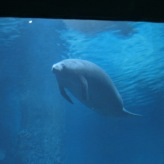 Manatee tank exhibit6