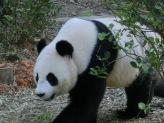 Panda72