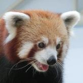 Red Panda34