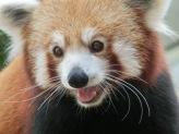 Red Panda37