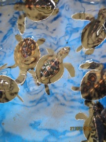 Conservation centre - baby turtles3