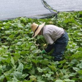Daio Wasabi farm18