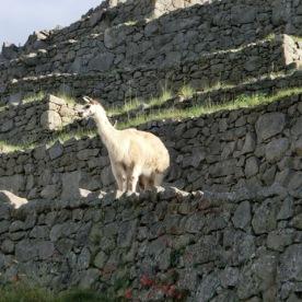 Llamas in Machu Picchu1