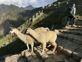 Llamas in Machu Picchu3