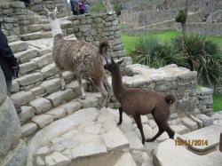 Llamas in Machu Picchu6