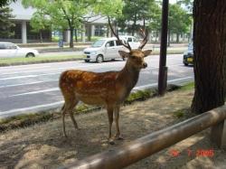 Nara deer13