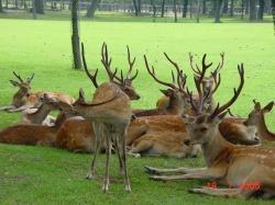 Nara deer18