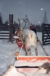 Reindeer Safari05