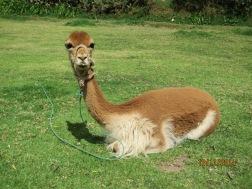 Tunupa wild Alpaca3