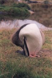 Yellow Penguin4