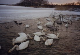White Swans 07