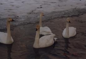 White Swans 08