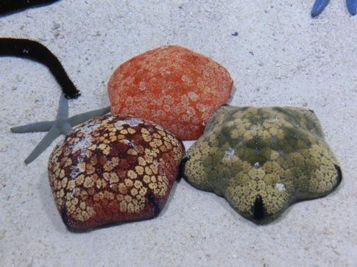 Churaumi - Coral reef12