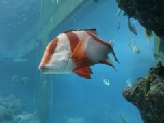 Churaumi - Coral Sea10
