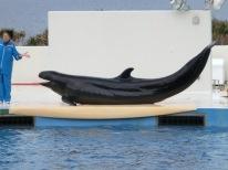 Churaumi - Dolphin show16