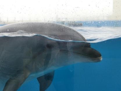 Churaumi - Dolphin show4