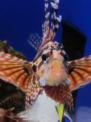 Churaumi - Lion fish6