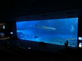 Churaumi - Whaleshark tank2