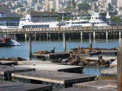 Pier 39 seal colony8