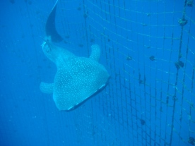 TopMarine Whaleshark photo1
