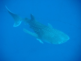 TopMarine Whaleshark photo2