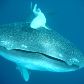 TopMarine Whaleshark photo3