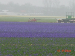 Flower Fields12