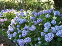 Hydrangeas at Nihondaira15