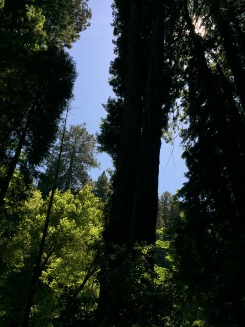 Muir Woods11