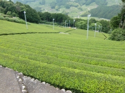 Ocha No Sato tea fields5