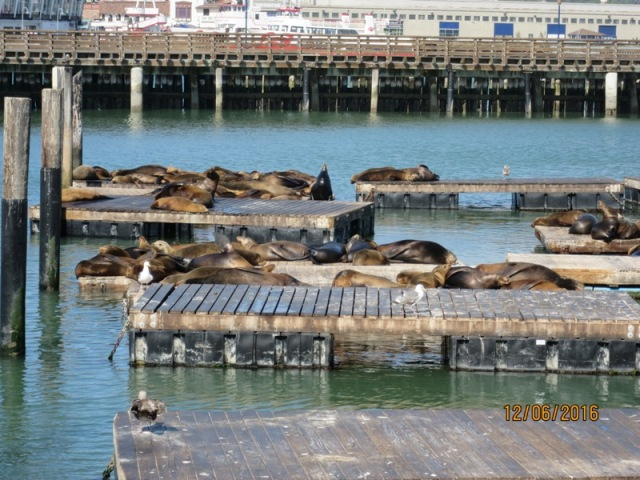 Pier 39 seal colony3