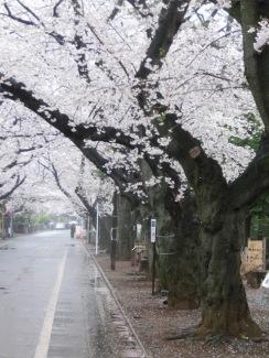 Yanaka Sakura14