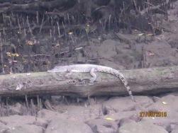 Baby alligator at main bridge7