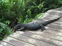 Large monitor lizard
