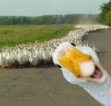 goose-photobomb