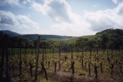 mittelbergheim-vineyards1