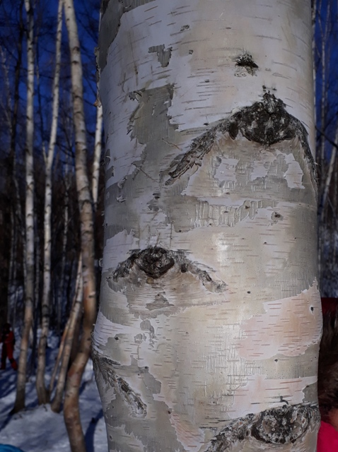 horse-sled-birch-tree-3