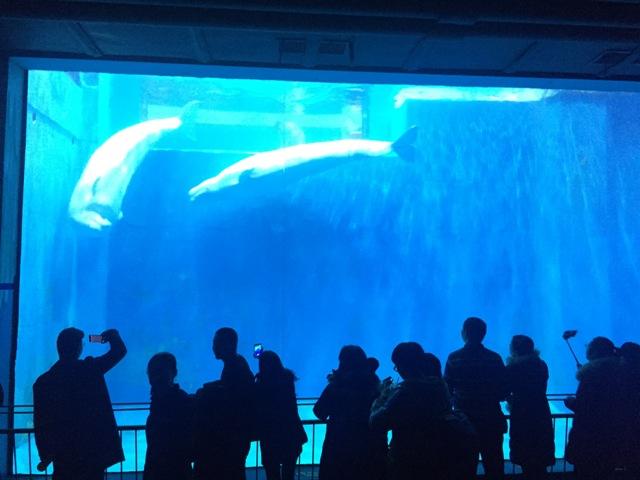 polar-museum-beluga3