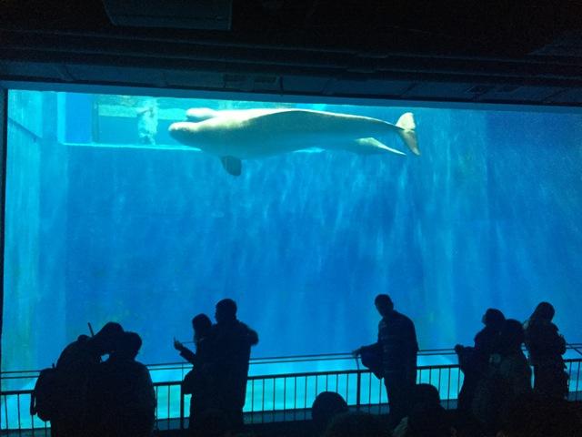 polar-museum-beluga5