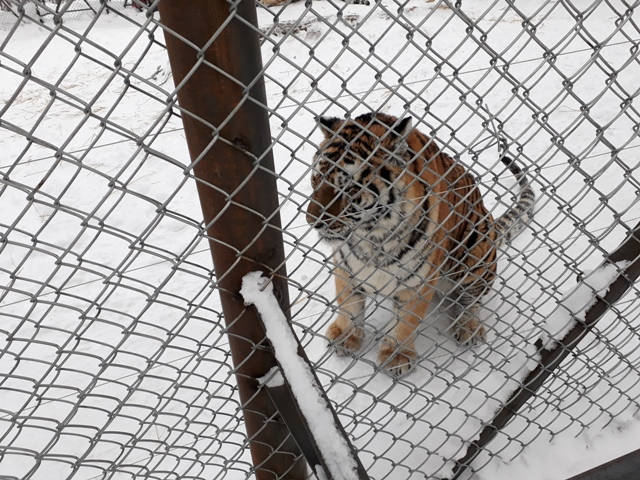 ten-mile-snow-gallery-tigers1