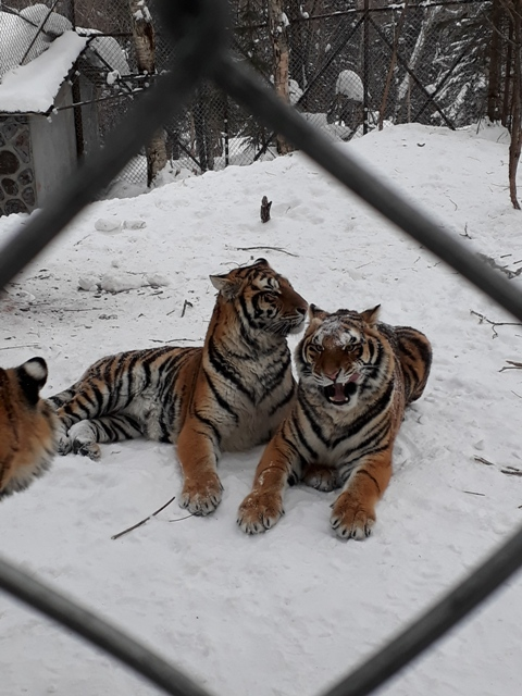 ten-mile-snow-gallery-tigers13