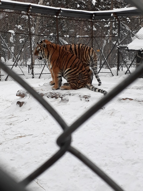 ten-mile-snow-gallery-tigers5