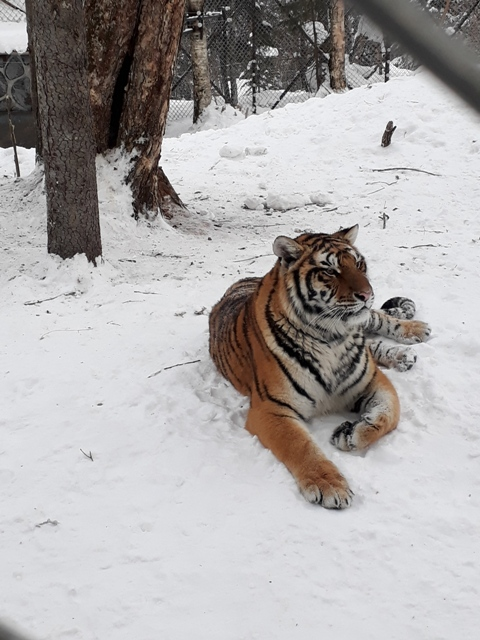 ten-mile-snow-gallery-tigers7