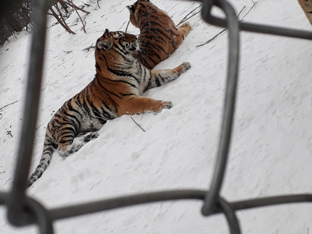 ten-mile-snow-gallery-tigers9
