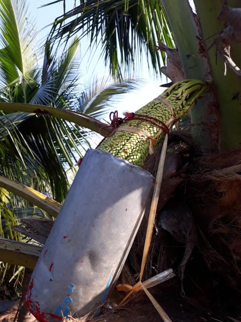 coconut-sugar-making9