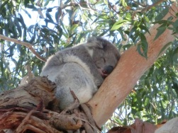 Koala at Quealy12