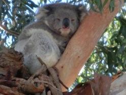 Koala at Quealy2