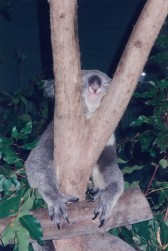 Kuranda Skyrail Koala enclosure4