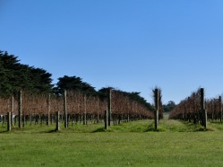 Quealy Vineyard2